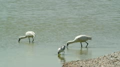 Two Spoonbills Stock Footage