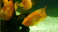 Stock Video Footage of Aquarium Crossbreed cichlid 007