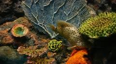 Aquarium Humpback grouper 010 - stock footage