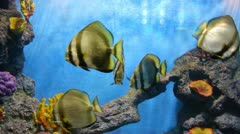 Aquarium Orbicular batfish 008 Stock Footage