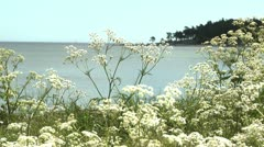 Cow Parsley, Anthriscus sylvestnis on a summer day in Sweden Stock Footage