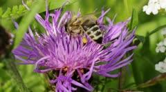 Bee on brown knapweed Stock Footage