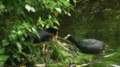 Common coot - fulica atra - with chicks on nest and feeding 02p Stock Footage