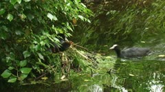 Common coot - fulica atra - with chicks on nest and feeding meerkoet 03i Stock Footage