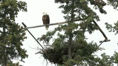 Bald Eagle on roost P HD 1391 Stock Footage