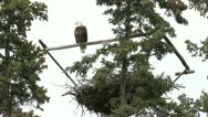 Stock Video Footage of Bald Eagle on roost P HD 1391