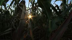 Corn Husk in Field at Sunset GFHD - stock footage