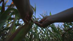 Low Angle POV Inspecting Corn GFHD Stock Footage
