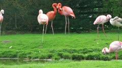 Flamingo birds on grass near lake Stock Footage