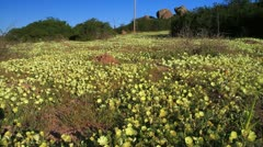 Field of Piet Snot Flowers in Namaqualand GFHD Stock Footage