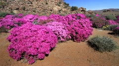 Namaqualand Wild Flowers - Pink Bushes, South Africa GFHD Stock Footage
