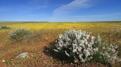 Namaqualand Wild Flowers - White Bushes in Yellow Field, South Africa GFHD Stock Footage