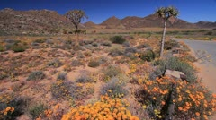 Namaqualand Flowers and Quiver Trees GFHD Stock Footage