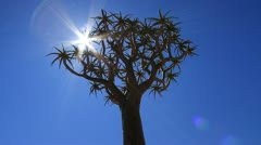 African Quiver Tree and Blue Sky in Karoo Desert GFHD Stock Footage