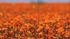 Namaqualand Sea of Orange Daisies GFHD Stock Footage