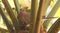 Pigeon Roosting in Tree Fern GFHD Stock Footage
