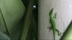 Male Anole Lizard Stock Footage