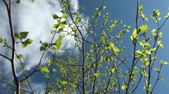 Fresh young Birch leaves in the spring Stock Footage