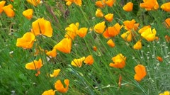 ORANGE CALIFORNIAN POPPIES Stock Footage