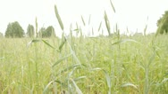 Green rye and wheat Stock Footage