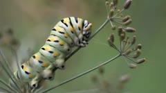 Swallowtail Caterpillar on Dill 02 Stock Footage
