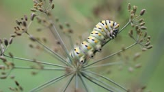 Swallowtail Caterpillar Dill 01 Stock Footage