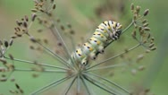 Swallowtail Caterpillar Dill 01 Stock Footage