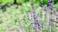 Close up of violet lavenders flowers Stock Footage