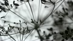 Dill Seeds Silhouette Stock Footage