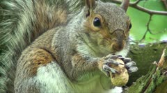 Squirrel eating Stock Footage