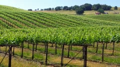 Vineyard Grapevines Across Rolling Hlls 1 Stock Footage