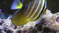 Butterfly Fish Stock Footage