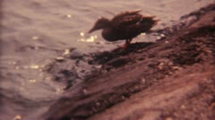 Duck Ente Watrer Eating 16mm Super8 Stock Footage