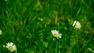 Chamomile moves in the wind Stock Footage