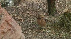 Eurasian pygmy owl Stock Footage