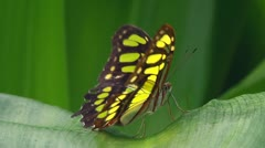 Thoas Swallowtail - stock footage