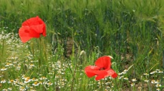 Two poppy flowers on summer meadow blowing in the wind Stock Footage