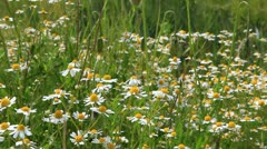 Wild camomile flowers on spring meadow Stock Footage