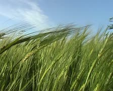 Barley tops blow in fields Stock Footage
