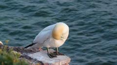 A gannet Stock Footage