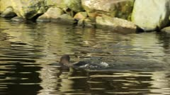 A Humboldt penguin Stock Footage