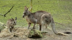 Two kangaroos (adult and young one) Stock Footage