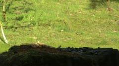 A Jay bird (Garrulus glandarius) Stock Footage