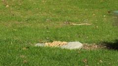 A Jay bird (Garrulus glandarius) - stock footage