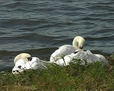 Swans cleaning next to green grass bathing by water SD Stock Footage