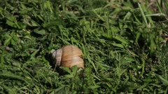 European pulmonate land snail (Helix aspersa). Stock Footage