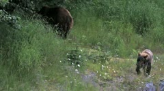 Grizzly Bear cub eating grass P HD 7496 Stock Footage