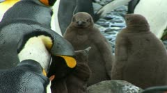 South Georgia: king penguin baby 3 Stock Footage