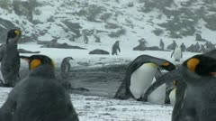 South Georgia: king penguin crowd 9 Stock Footage