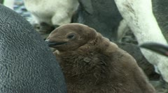 South Georgia: king penguin baby 4 Stock Footage